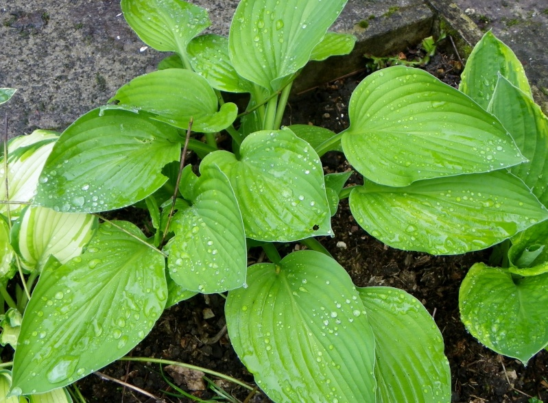 Quelques plantes d'ombre ou mi-ombre - Page 2 Imgp2115