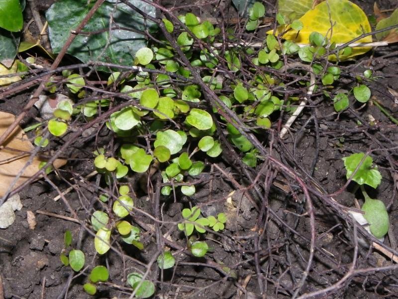 Muehlenbeckia - le genre  Imgp2212