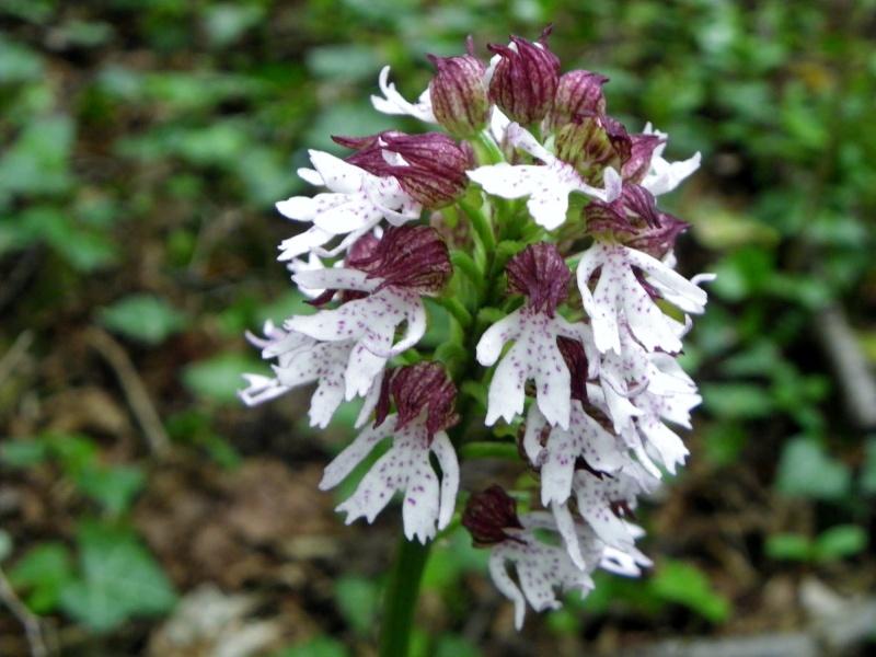 Orchis purpurea ? [identification à confirmer] Imgp2312