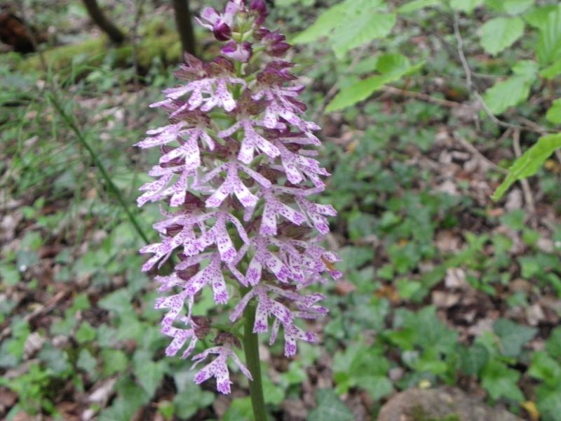 Orchis purpurea ? [identification à confirmer] Imgp2313