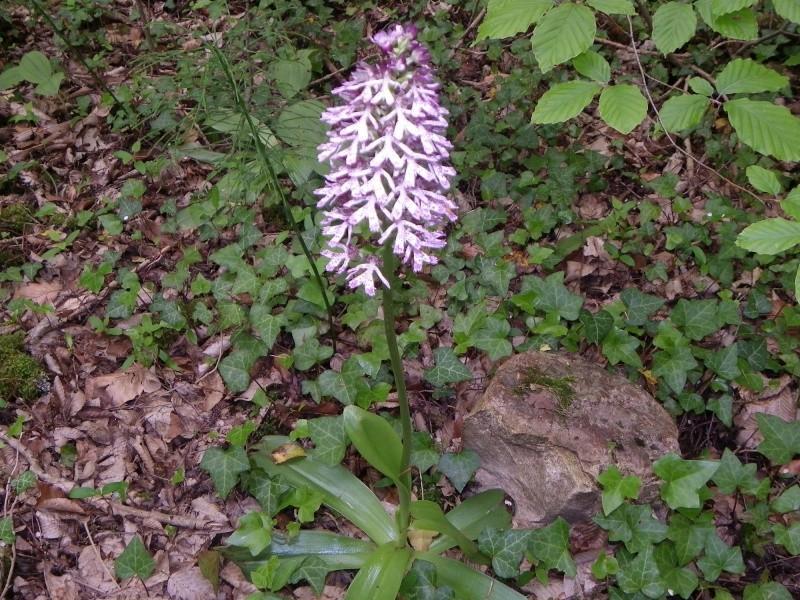 Orchis purpurea ? [identification à confirmer] Imgp2316
