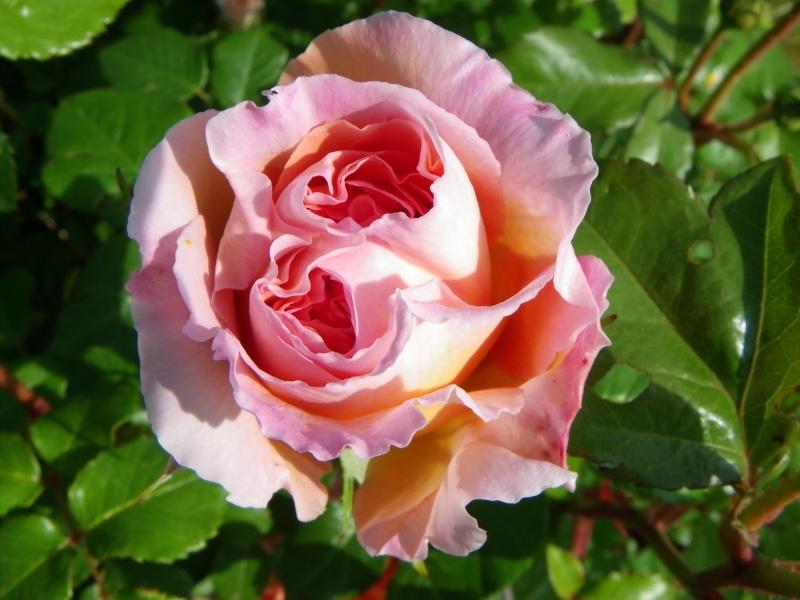 rosier 'Candy Rain' Imgp2616