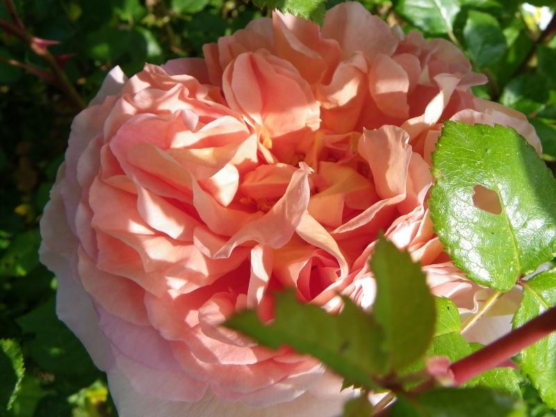 rosier 'Candy Rain' Imgp2617