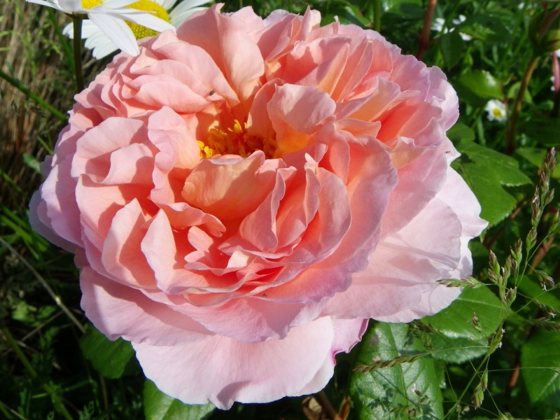 rosier 'Candy Rain' Imgp2618