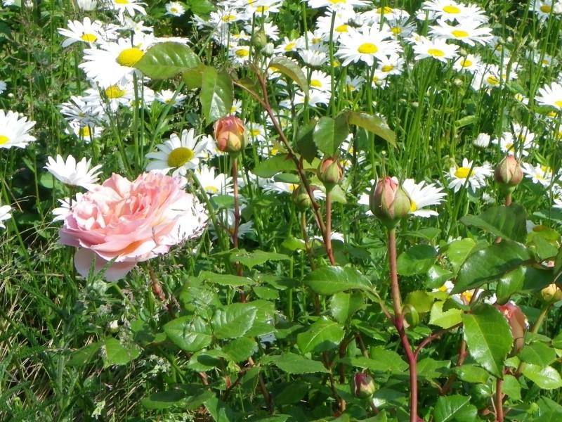 rosier 'Candy Rain' Imgp2621