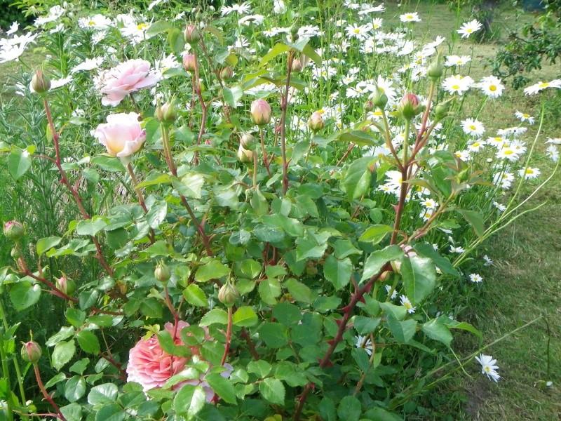 rosier 'Candy Rain' Imgp2622