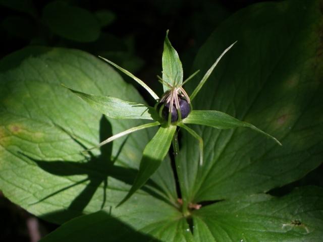 Paris quadrifolia - parisette, paris à quatre feuilles Imgp2712