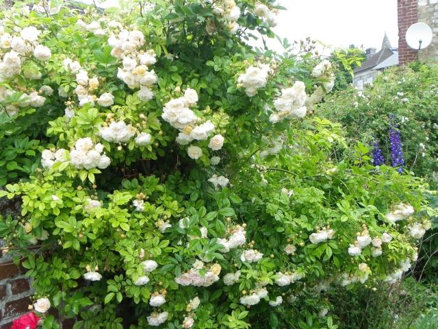 rosier 'Ghislaine de Feligonde' Imgp2814
