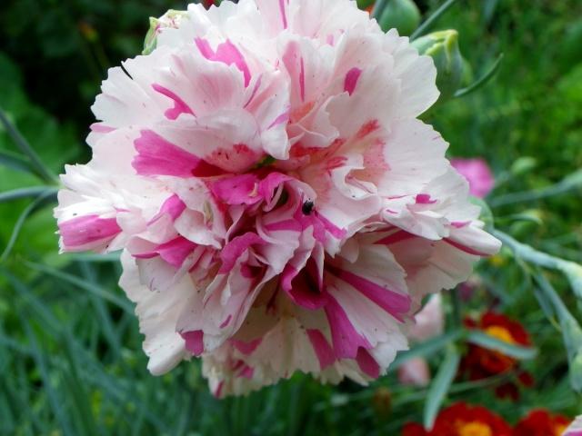 Dianthus plumarius - les oeillets mignardises Imgp3018