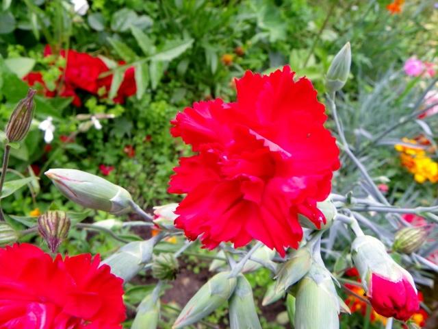 Dianthus plumarius - les oeillets mignardises Imgp3116