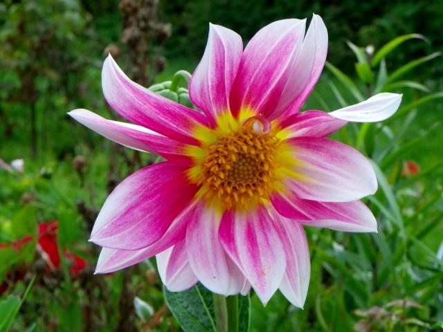 Dahlia - variétés, culture Imgp4012