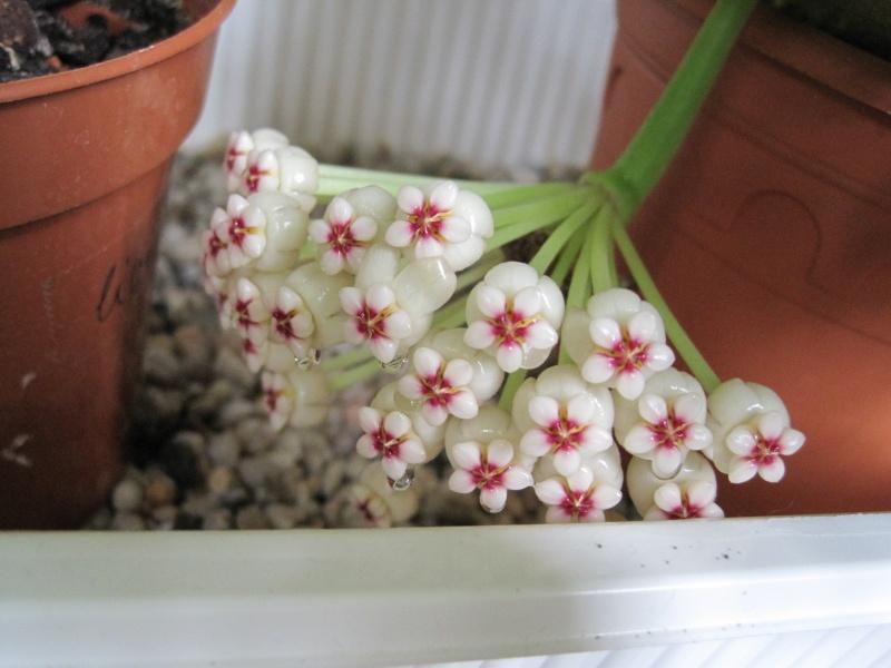 Hoyablüten 2012 - Seite 3 Juni_214