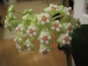 Hoyablüten 2012 - Seite 2 Canon_18