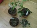 Hoya curtisii Novemb10