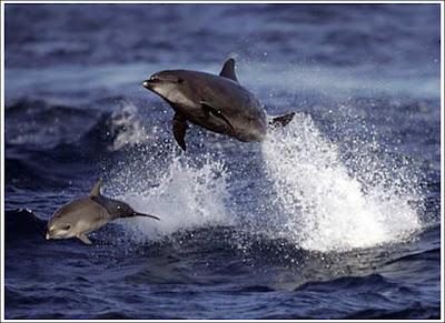 Migliaia di delfini scappano dalle coste della California,ignote ancora le cause! Dolphi10