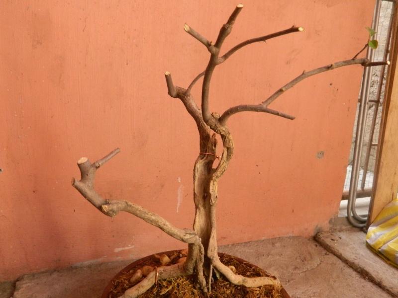 help reveal the hidden form of my first bonsai.. Dscn1811