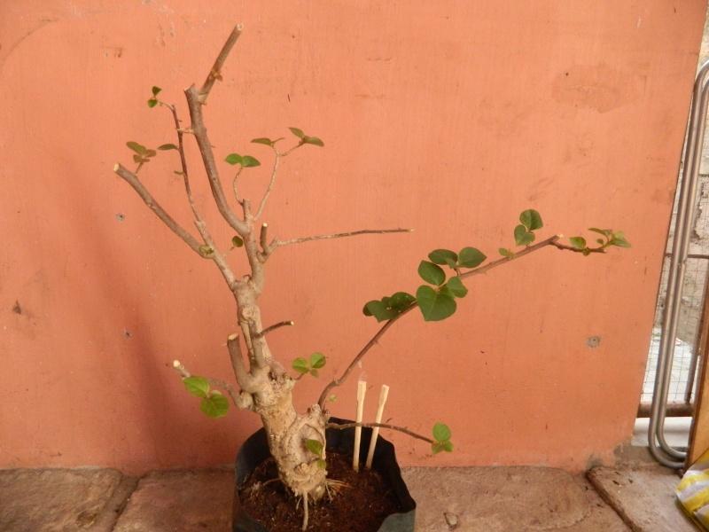 help reveal the hidden form of my first bonsai.. Dscn1812