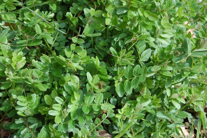 Vesce craque / Vicia cracca Cresso11