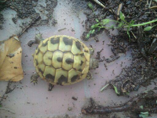 trouvée ce matin dans mon jardin ... Tortue11