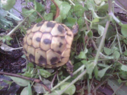 trouvée ce matin dans mon jardin ... Tortue12