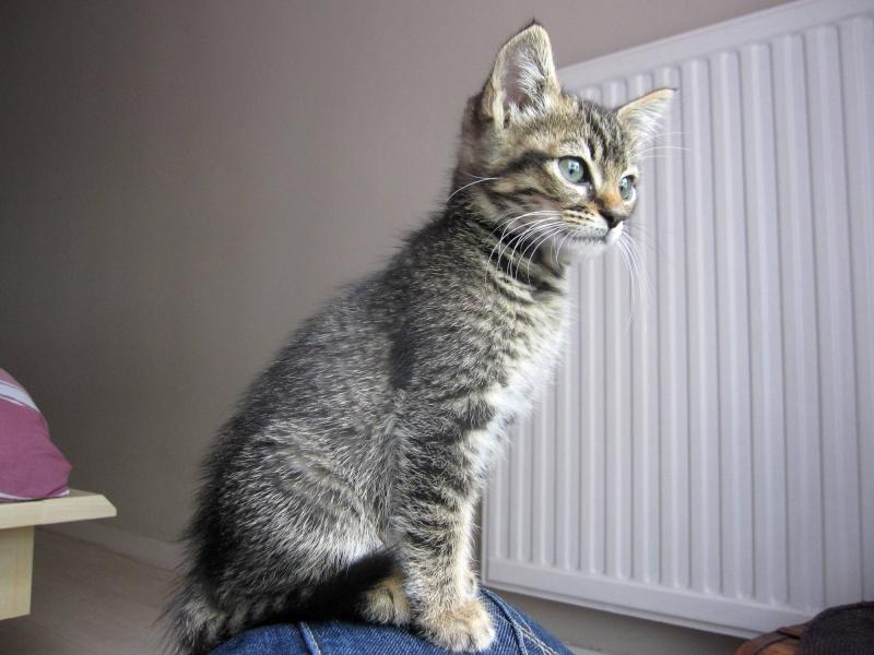 Honey, chatonne tigrée, née le 01/04/12 Honey_13