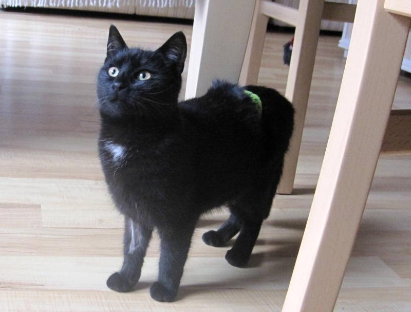 Hyona, chatte à robe noire, né en juin 2012 Hyona_11
