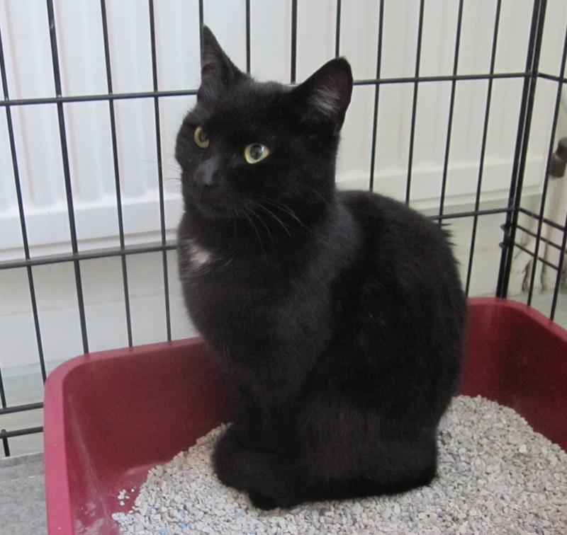 Hyona, chatte à robe noire, né en juin 2012 Noirea12