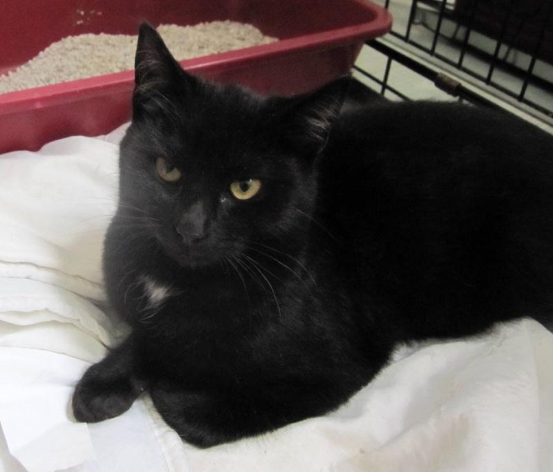 Hyona, chatte à robe noire, né en juin 2012 Noirea13