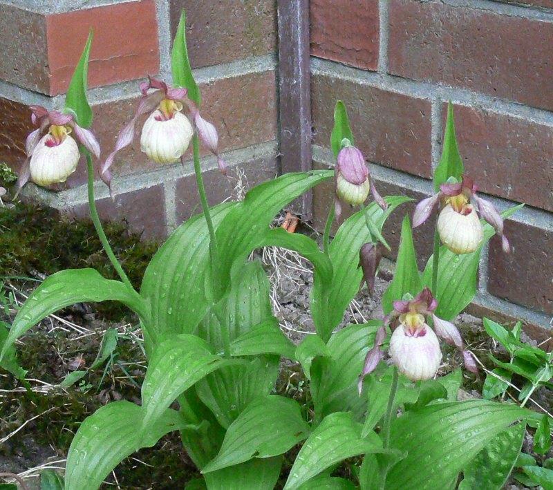 Begleitpflanzen der Kakteen in Haus und Garten - Seite 2 Cyprip12