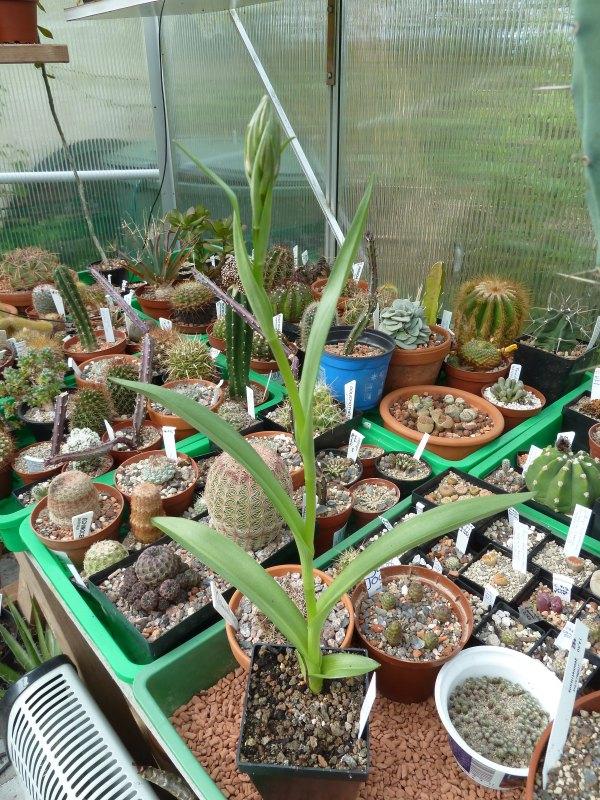 Begleitpflanzen der Kakteen in Haus und Garten Dactyl10