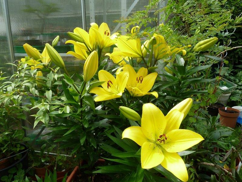 Begleitpflanzen der Kakteen in Haus und Garten - Seite 6 Lilien10