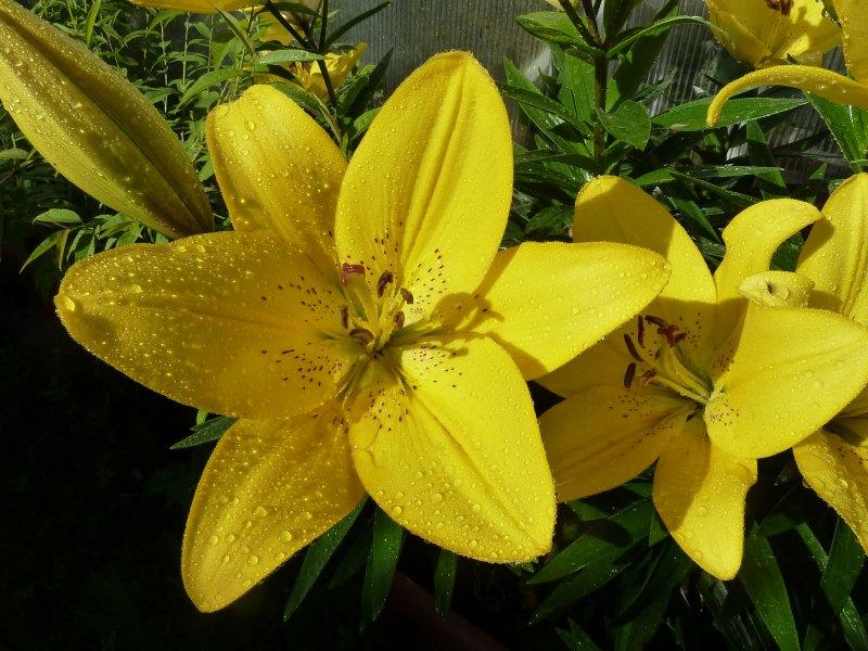 Begleitpflanzen der Kakteen in Haus und Garten - Seite 6 Lilien11
