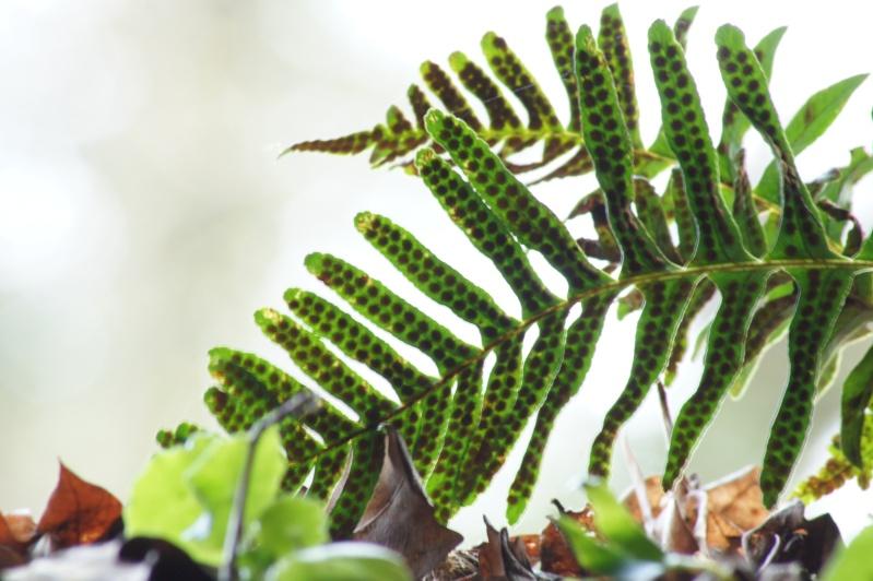 Précision sur fougère (Polypodium sp) Dsc01410