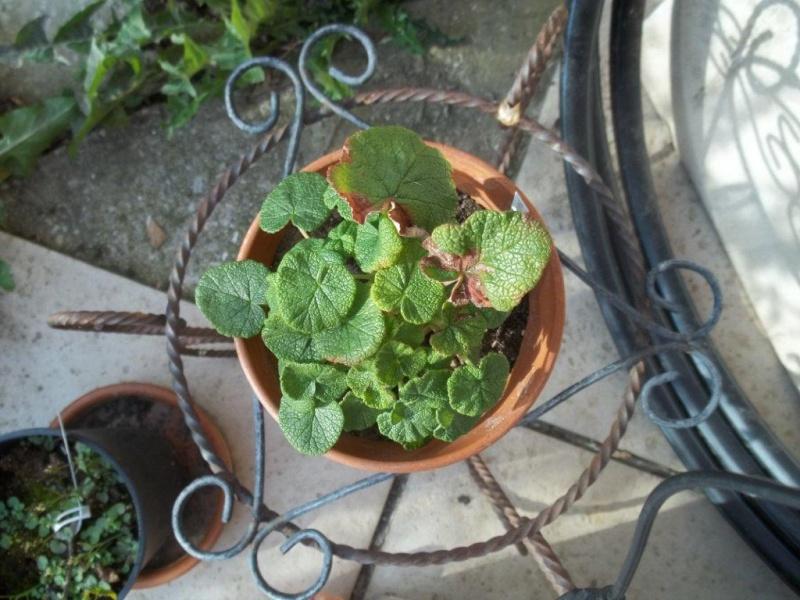 Pelargonium mal en point 100_1110
