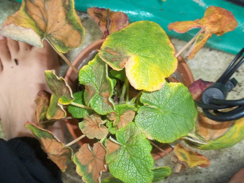 Pelargonium mal en point Pelarg10