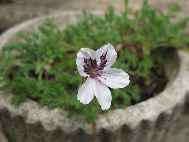 erodium chrysanthum Erodiu10