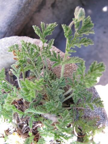 erodium chrysanthum Erodiu11