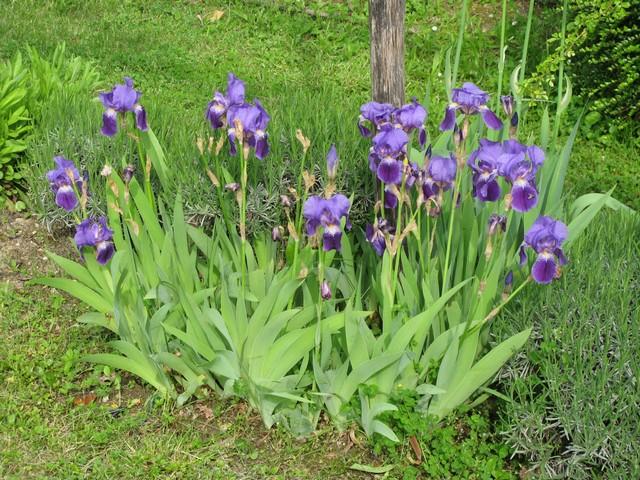 Plaidoyer pour les iris des vieux jardins Img_1310