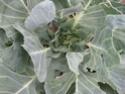 cabbage pest??  Img_9910