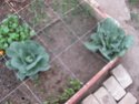 cabbage pest??  Img_9911