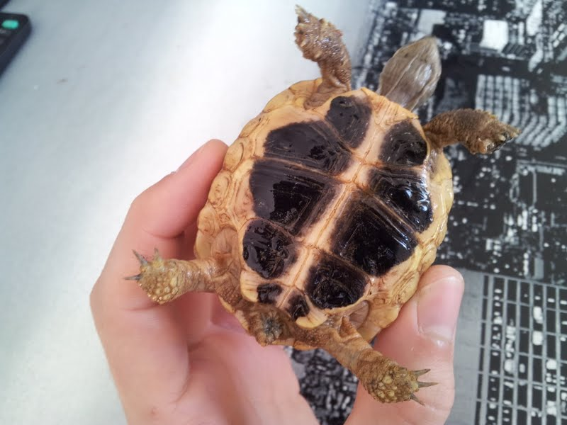 Sexage de mes 4 tortues 1310