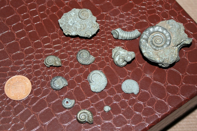Some more pyritic ammonites from Charmouth Img_1011