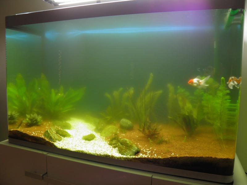 aquarium 244 litres et poissons rouges P5130214