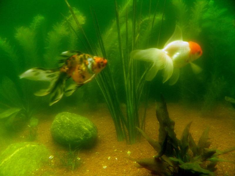 aquarium 244 litres et poissons rouges P5130310