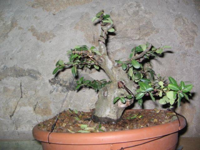Piracanta veneta 04pyra10