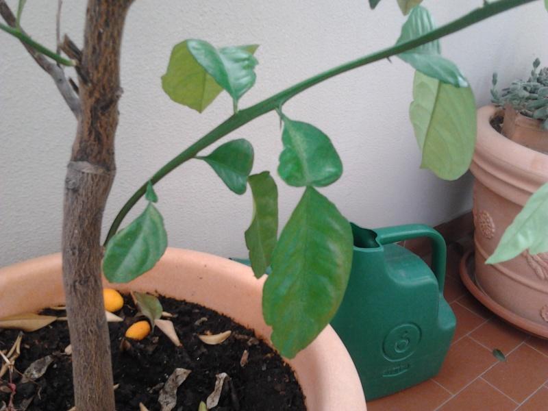 Pianta mandarino cinese con foglie strane 2012-015