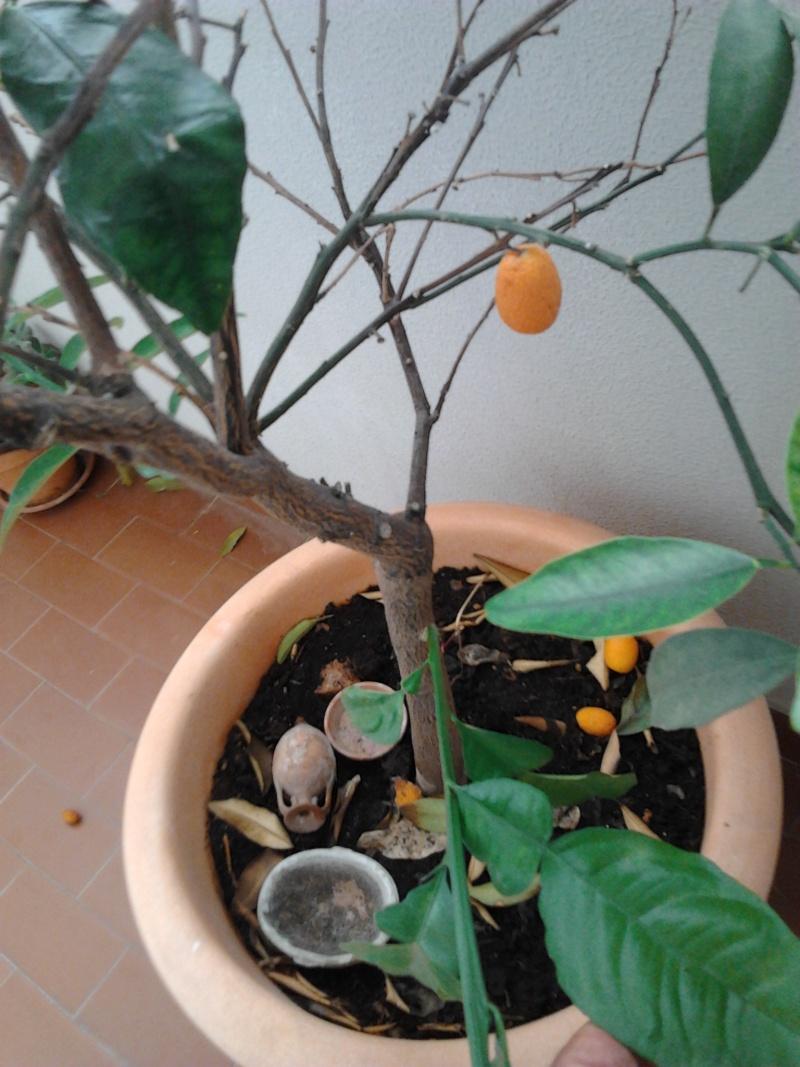 Pianta mandarino cinese con foglie strane 2012-016