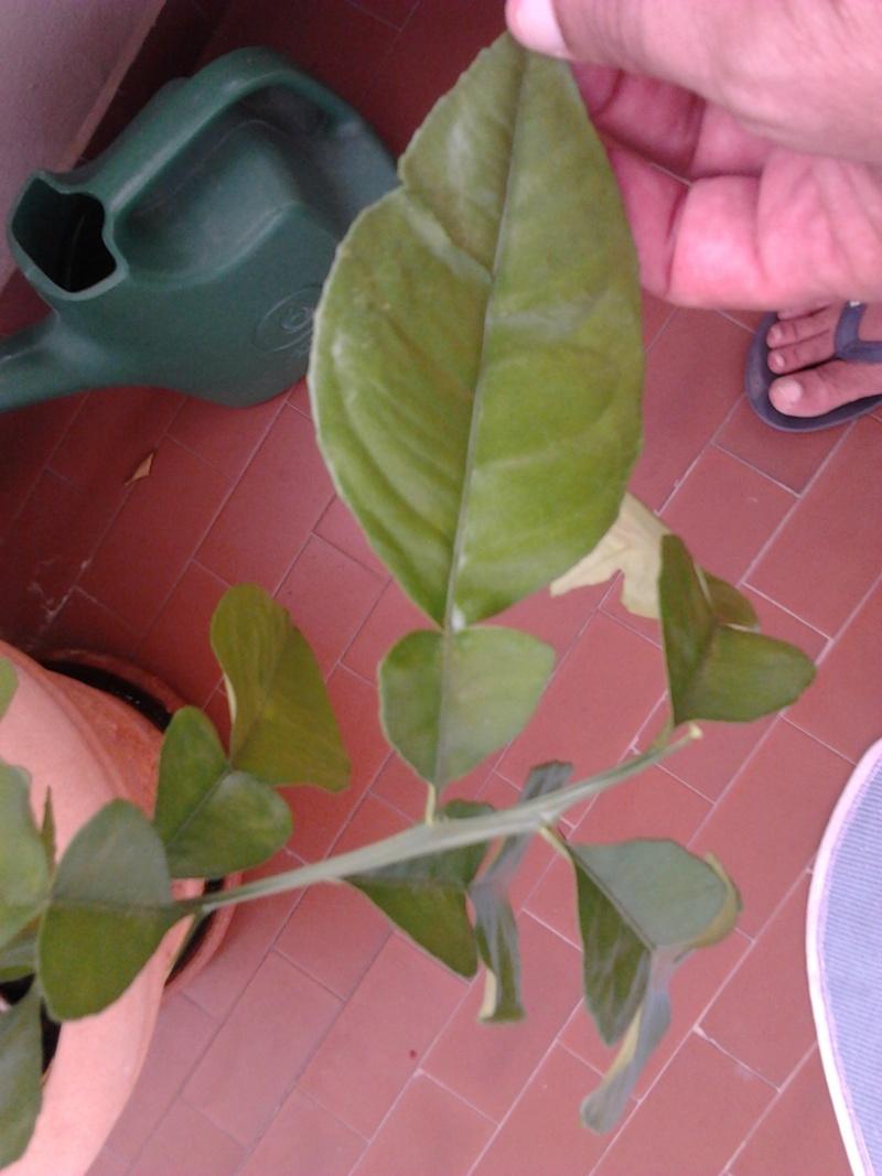 Pianta mandarino cinese con foglie strane 2012-017