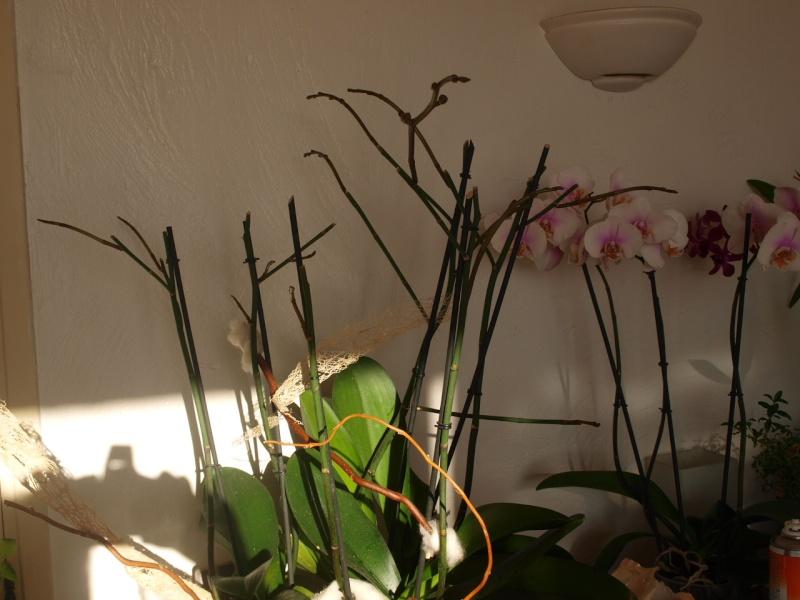 Ma première orchidée! - Page 3 Pb253510