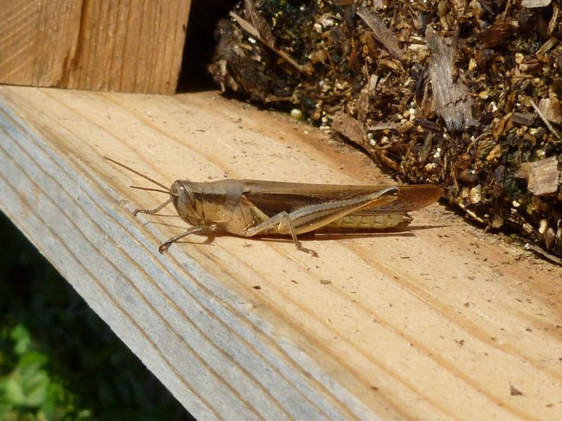 Is this a locust? P1000010